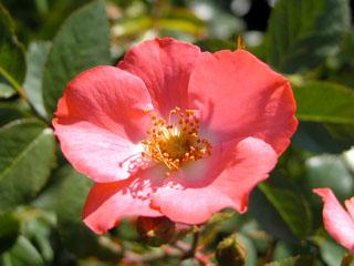 バラ(薔薇) 'コーラル・メイディランド'