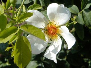 バラ(薔薇) 'ゴールデンウイングス'
