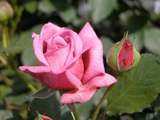 バラ(薔薇) 'コルデス・マジェンダ'