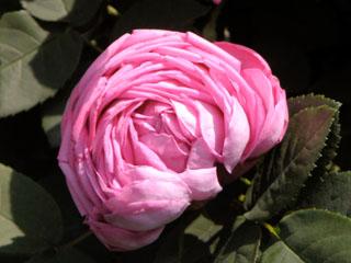 バラ(薔薇) 'コンテス・セシル・ド・シャブリリアン'