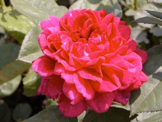 バラ(薔薇) 'ザ・ダークレディー'