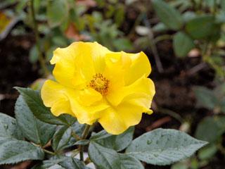 バラ(薔薇) 'サプライズ'