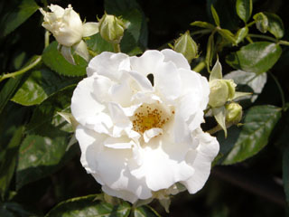 バラ(薔薇) 'サマー・スノー'