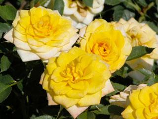 バラ(薔薇) 'サン・スプリンクルス'