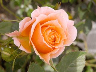 バラ(薔薇) 'サンドリーナコルダナ'(ミニバラ)