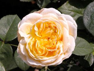 バラ(薔薇) 'シャーロット'