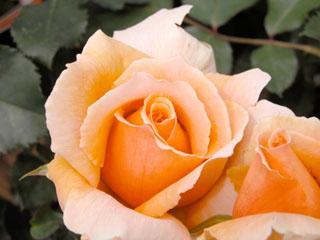 バラ(薔薇) 'ジャストジョーイ'