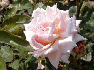 バラ(薔薇) 'ジャン・デュシェ'