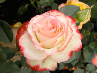 バラ(薔薇) 'ジュビレドゥプリンスドモナコ'