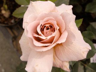 バラ(薔薇) 'ジュリア'