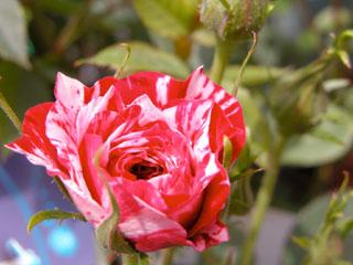 バラ(薔薇) 'ジョリー・キューピッド'(ミニバラ)