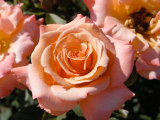バラ(薔薇) 'シンギン・イン・ザ・レイン'
