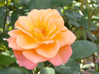 バラ(薔薇) 'スーブニール・ド・アンネ・フランク'