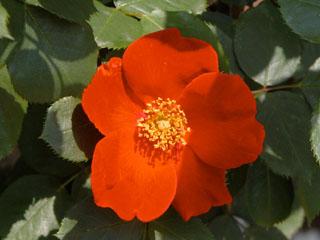 バラ(薔薇) 'スカーレッタ'