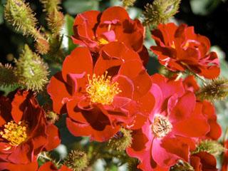 バラ(薔薇) 'スカーレット・モス'