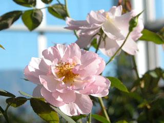 バラ(薔薇) 'スキャボローフェアー'