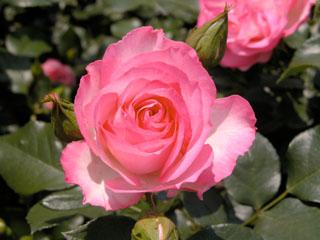 バラ(薔薇) 'ストロベリーアイス'