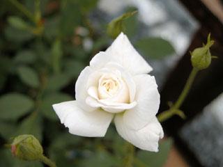 バラ(薔薇) 'セシルブランナー'