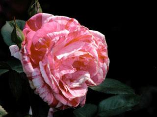 バラ(薔薇) 'センチメンタル(Wekplapep)'