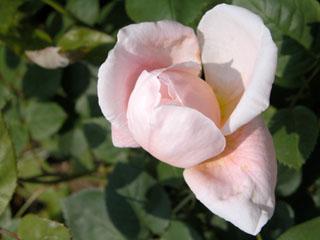 バラ(薔薇) 'セント・セシリア'