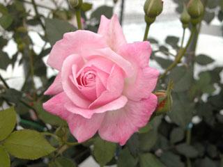 バラ(薔薇) 'ソフィーズパーペチュアル'
