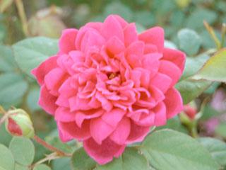 バラ(薔薇) 'ソフィーズローズ'