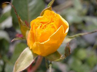 バラ(薔薇) 'ソリドール'
