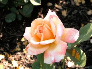 バラ(薔薇) 'タヒチアン・サンセット'