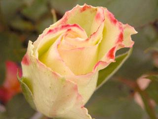 バラ(薔薇) 'ダブル・ディライト'