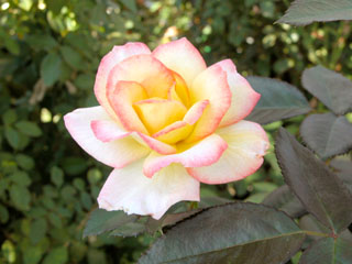 バラ(薔薇) 'チャールストン'