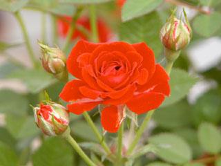 バラ(薔薇) 'つるシルクレッド'