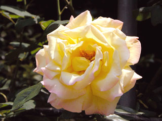 バラ(薔薇) 'つるピース'