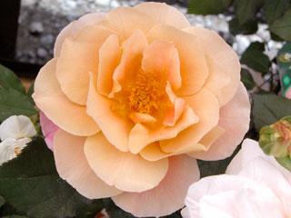 バラ(薔薇) 'ディスタントドラム'