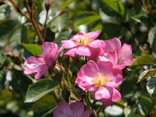 バラ(薔薇) 'デイドリーム'