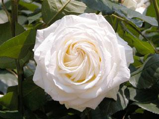 バラ(薔薇) 'ティネケ'