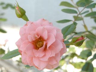 バラ(薔薇) 'ティンカーベル'