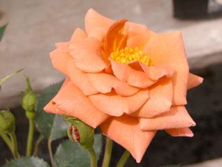 バラ(薔薇) 'テディベア'(ミニバラ)