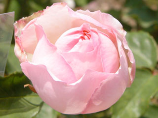 バラ(薔薇) 'デュシス・ドゥ・ブラバン'