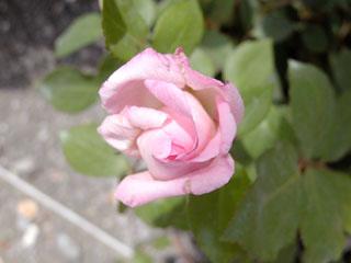 バラ(薔薇) 'トリオンフ・ド・ルクサンブール'
