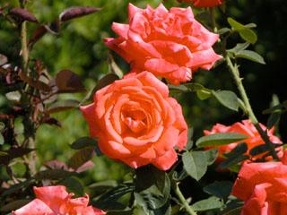 バラ(薔薇) 'トロピカーナ'