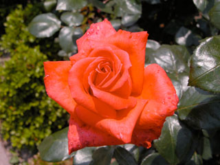 バラ(薔薇) 'ニューアベマリア'