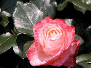 バラ(薔薇) 'ノスタルジイ'