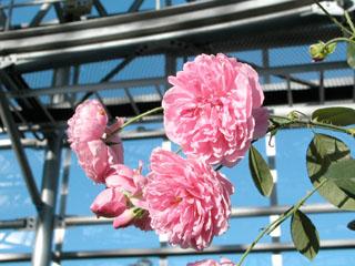 バラ(薔薇) 'ハーロウ・カー'