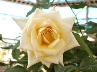 バラ(薔薇) 'ハイネス愛'