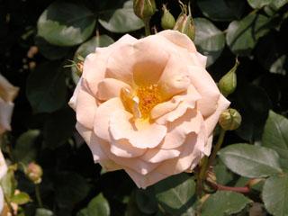 バラ(薔薇) 'バター・スコッチ'