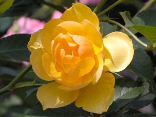バラ(薔薇) 'バターカップ'