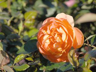 バラ(薔薇) 'パット・オースチン'