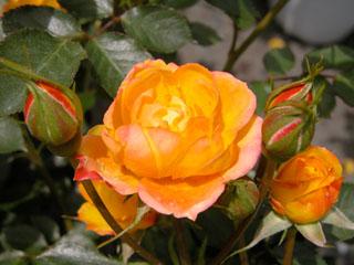 バラ(薔薇) 'ハッピーマザー'