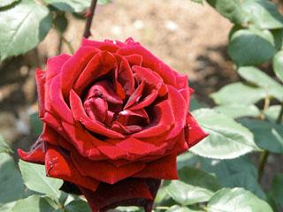 バラ(薔薇) 'パパ・メイアン'