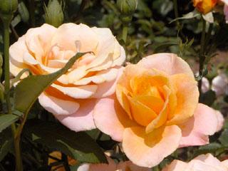 バラ(薔薇) 'パレオ'